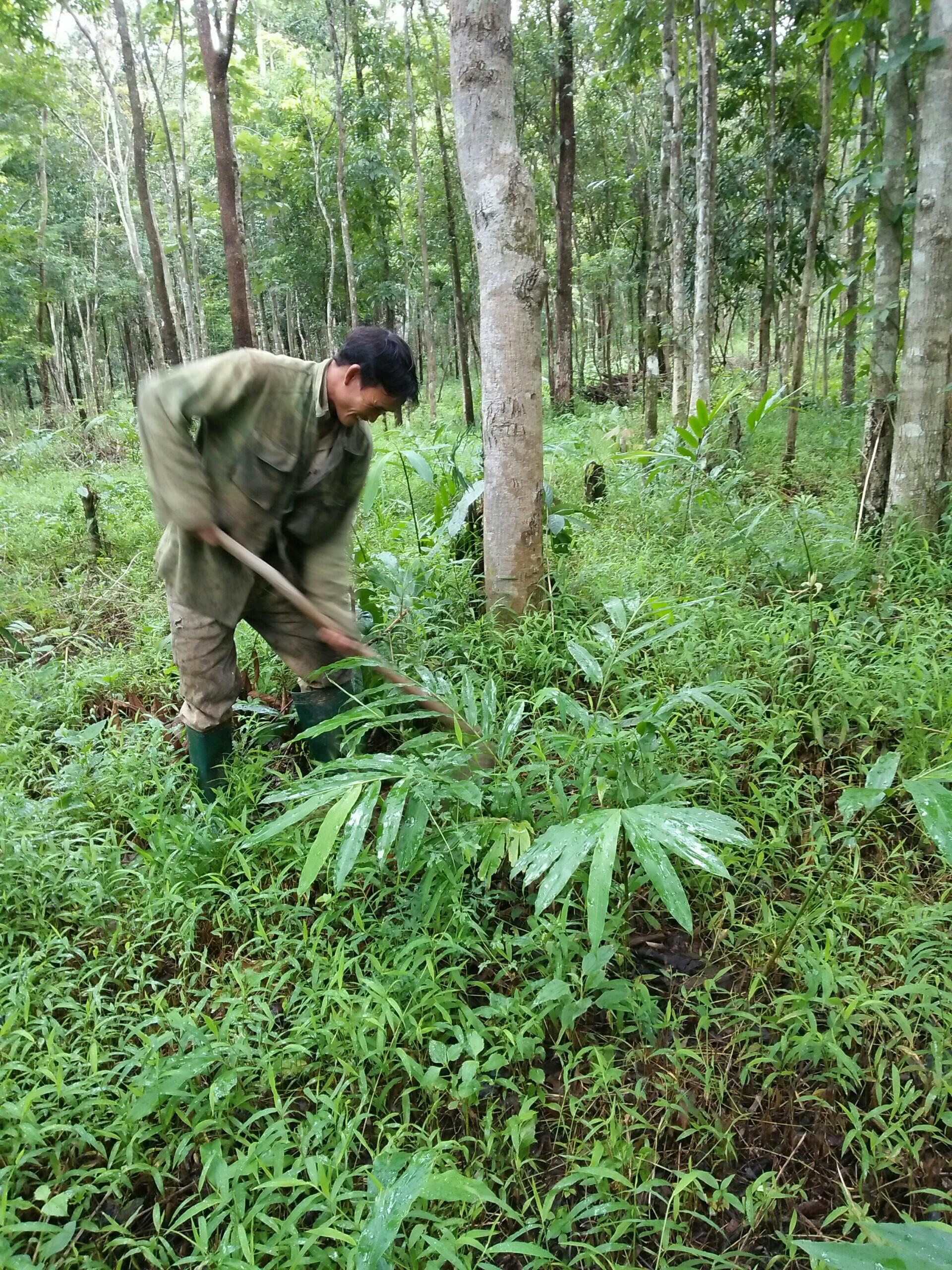 Amomum longiligulare – a sustainable livelihood model