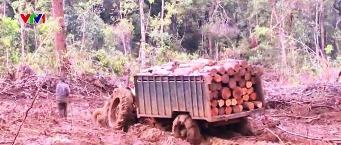 Tiêu điểm: Phá rừng tự nhiên để trồng cao su